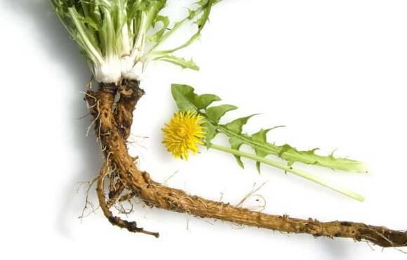 Лечебные свойства и противопоказания корня одуванчика, как применять