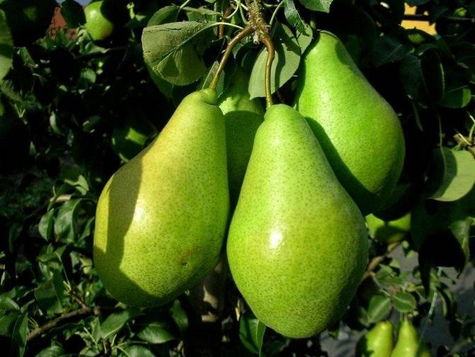 Можно ли кормящей маме грушу: когда вводить продукт, сколько и как употреблять