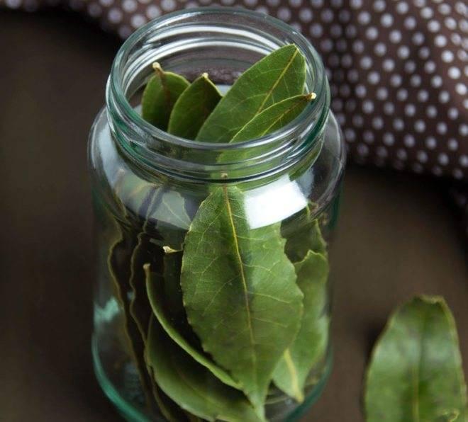 Лечебные свойства и противопоказания лаврового листа