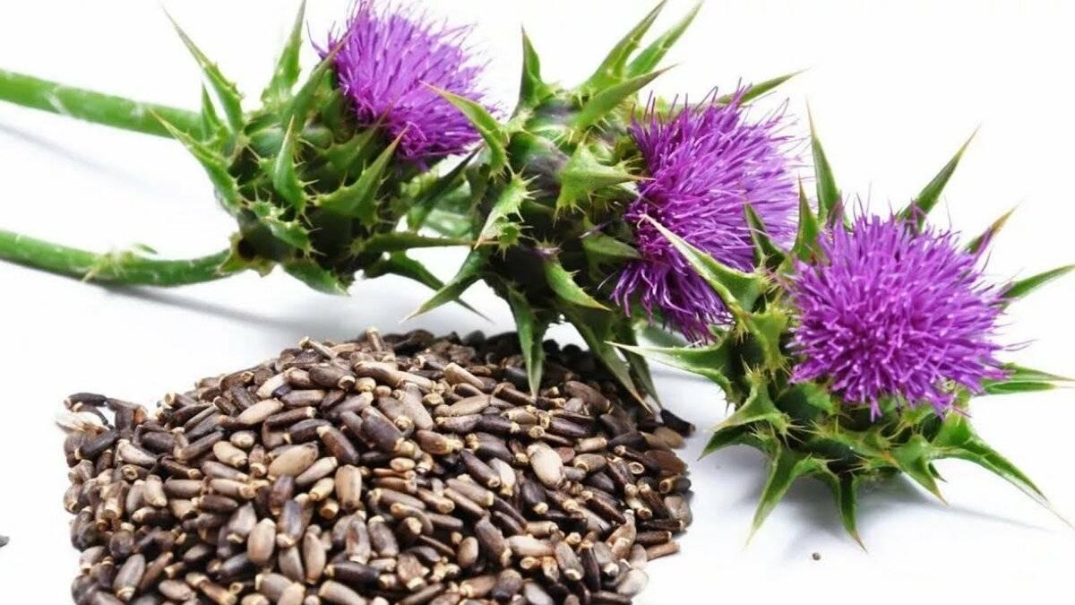 Расторопша: лечебные свойства, противопоказания и рецепты