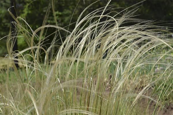 Ковыль трава свойства