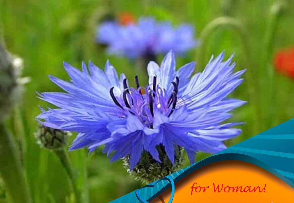 Лечебные свойства и противопоказания василька синего