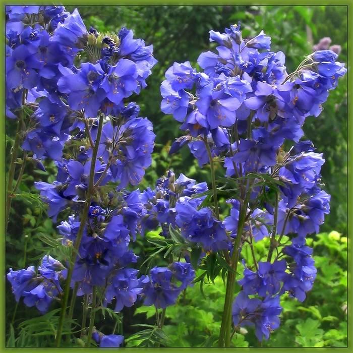 Синюха голубая. лечебные свойства и противопоказания. применение, рецепты