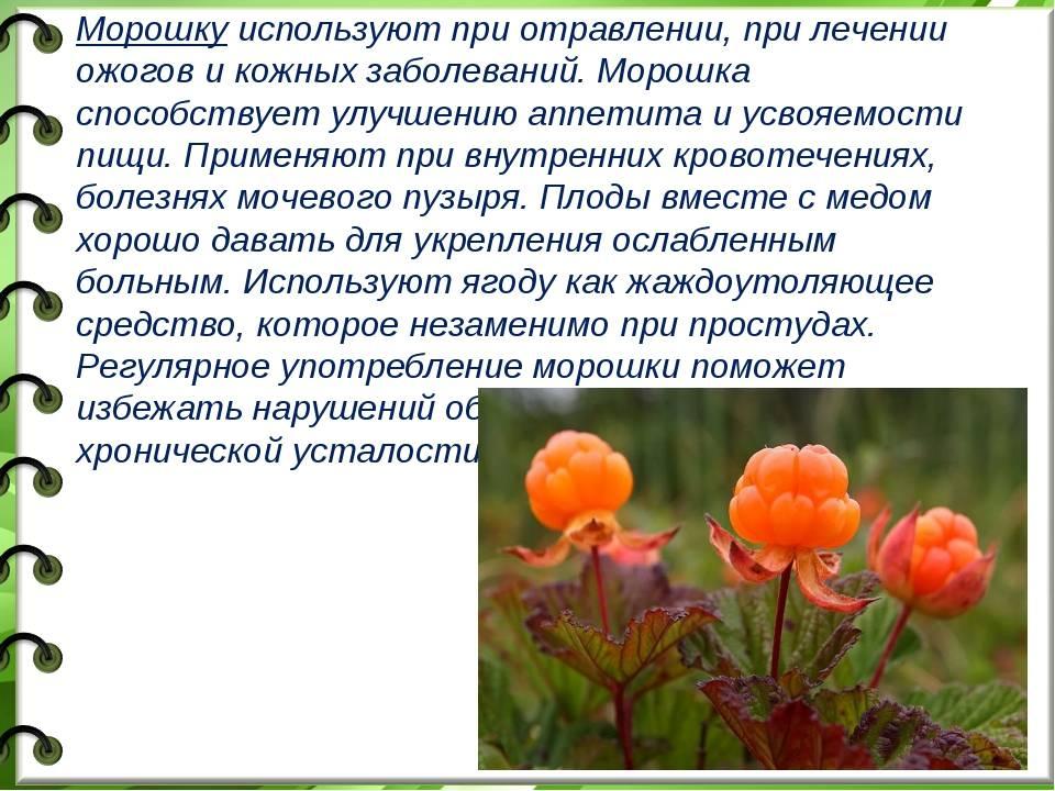 Морошка: полезные свойства ягод, чашелистиков, листьев, цветков, корней