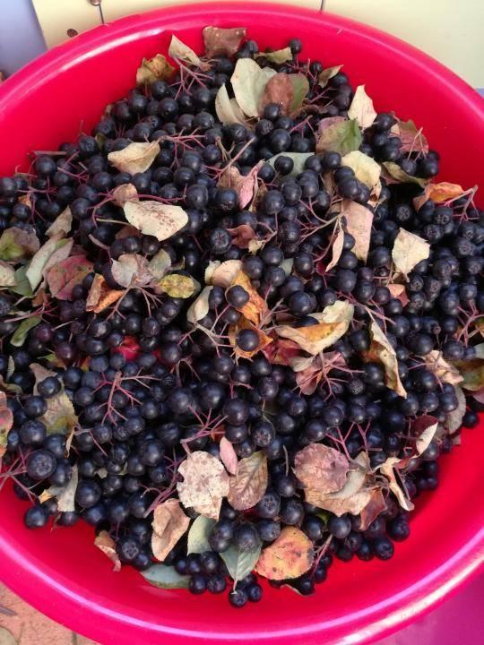 Можно ли сушить черноплодную рябину в духовке. сушка черноплодной рябины