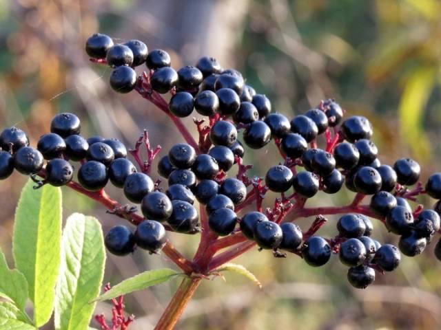 Лечебные свойства и противопоказания черной бузины, как применять