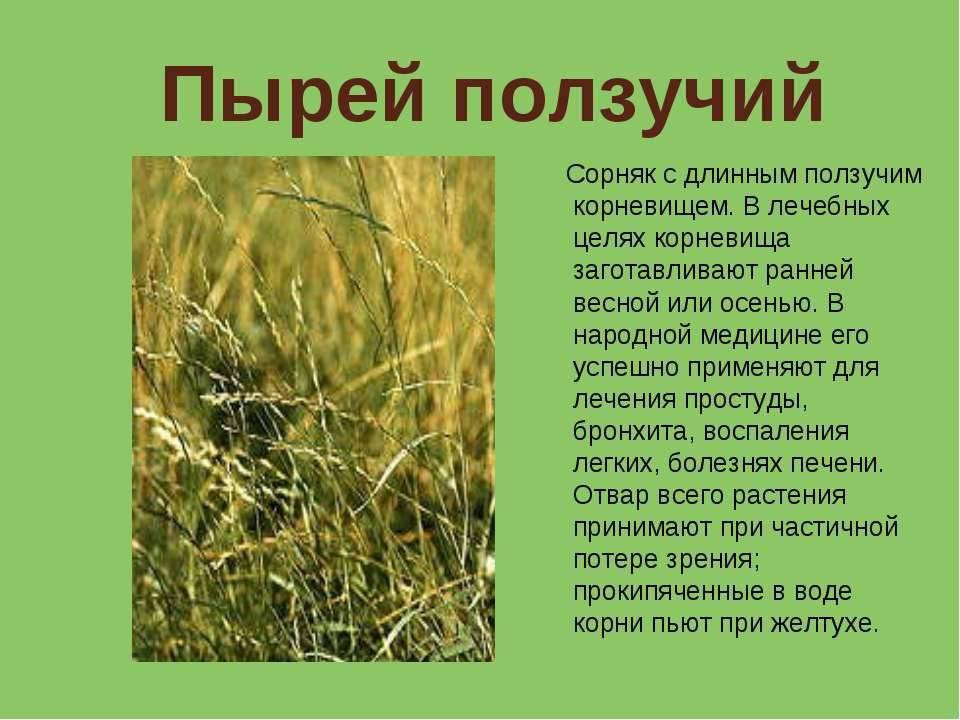 Ковыль: фото растения, описание и лечебные свойства