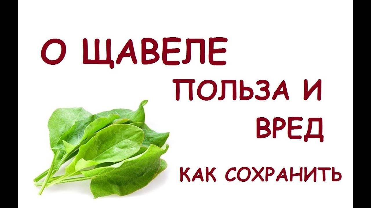 Щавель: польза зеленого растения и вред