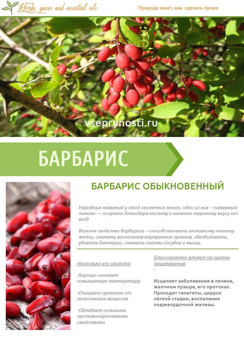 Барбарис — полезные свойства на службе здоровья
