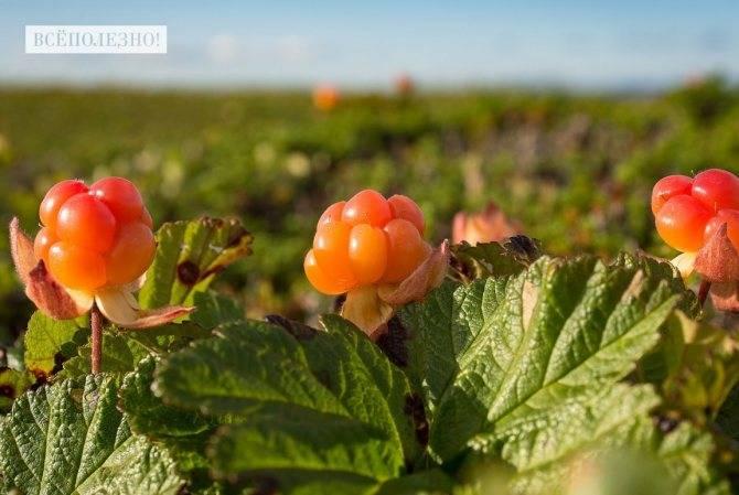 Польза морошки: лекарственные, кулинарные и косметические рецепты из «царской ягоды»