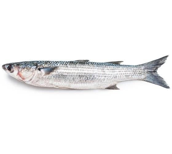 Рыба кефаль, характеристика вида, особенности питания и поведения