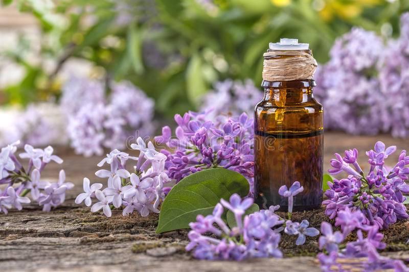 Сирень лечебные свойства и противопоказания