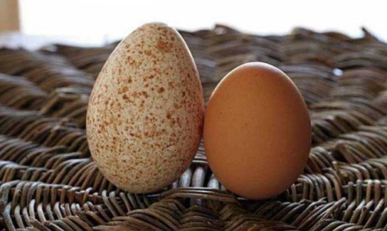 Можно ли есть яйца индюшки
