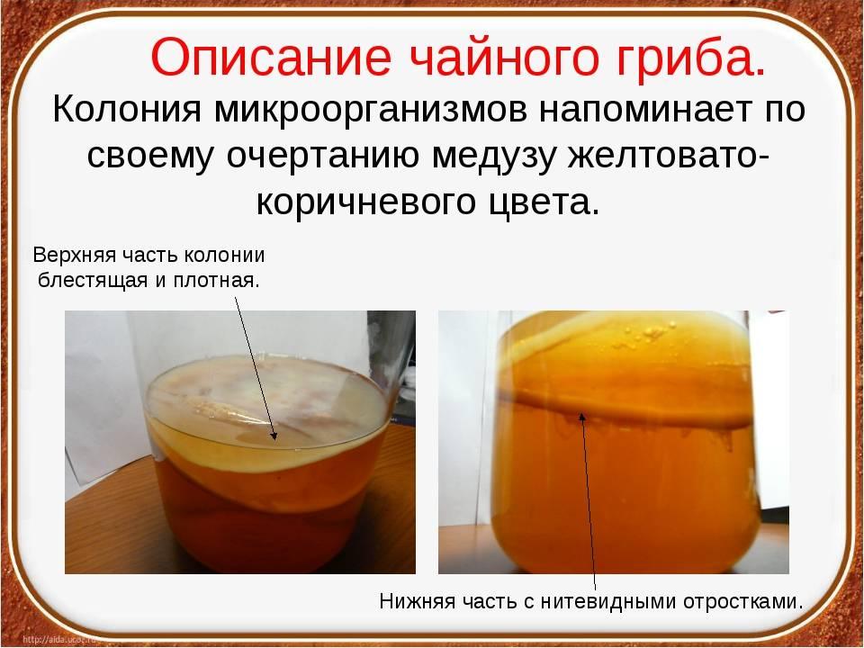 Полезные свойства чайного гриба для организма человека