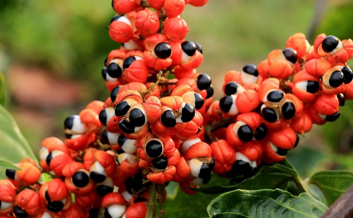 Гуарана: польза и вред для организма, применение в спортивном питании и для снижения веса