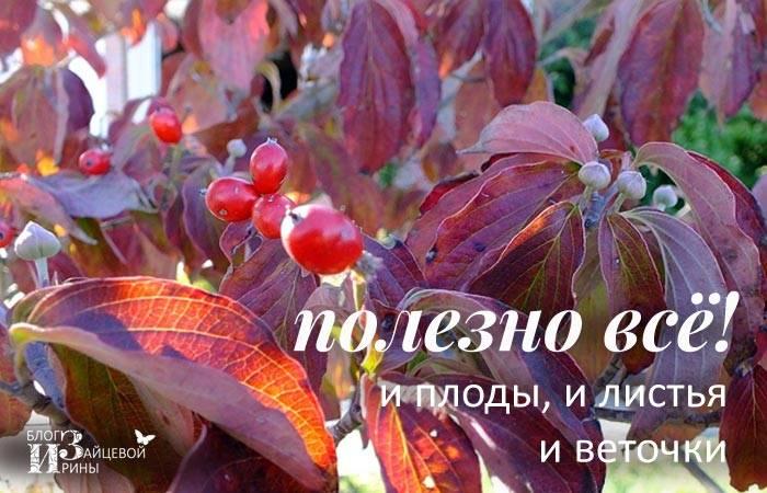 Кизил: какие полезные свойства ягоды, есть ли вред для организма и противопоказания, как употреблять?