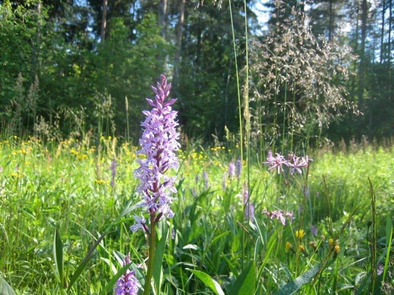 Ятрышник — подробное описание растения, народные рецепты с применением травы, польза и вред ятрышника (105 фото)