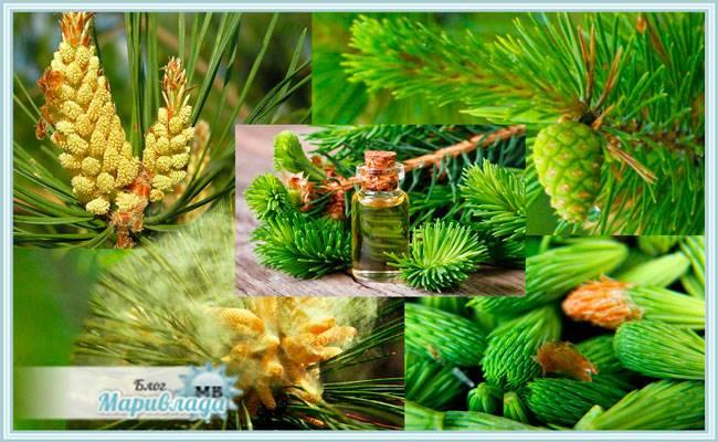 Чай из сосновых иголок: полезные свойства и вред