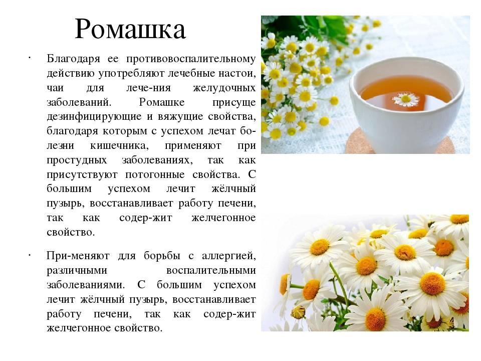 Лечебные свойства и применение ромашки аптечной