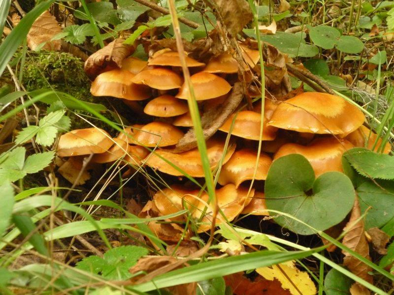 Полезные свойства опят и возможные риски отравления грибами