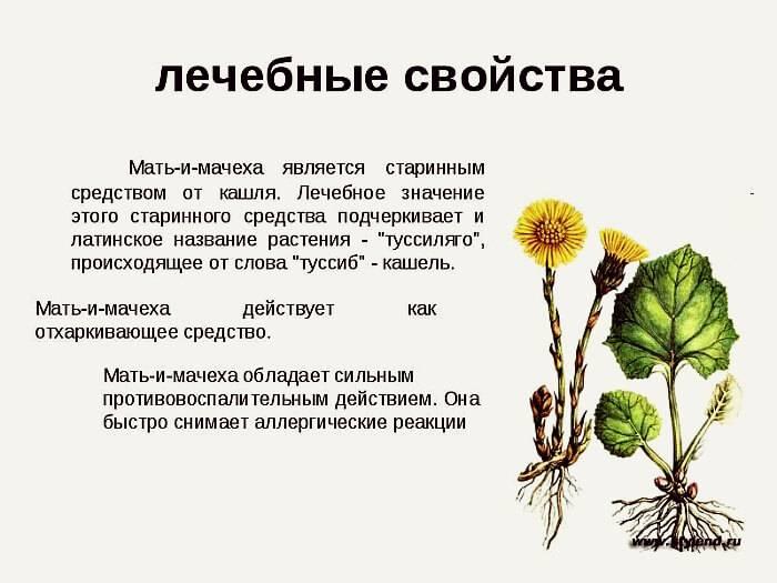 Трава мать-и-мачеха: лечебные свойства и противопоказания