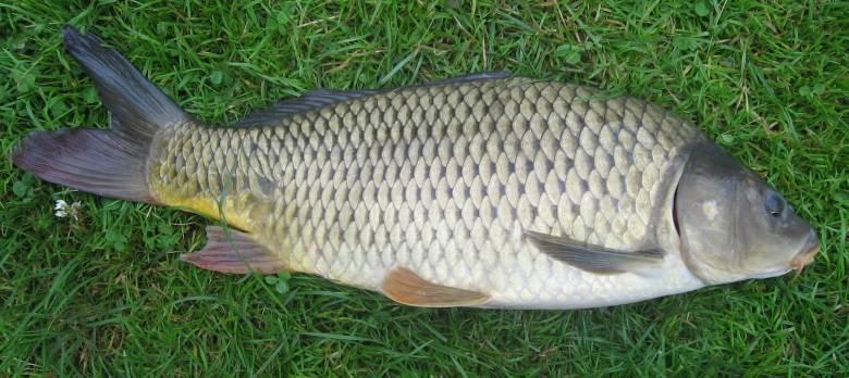 Рыба толстолобик: вред и польза