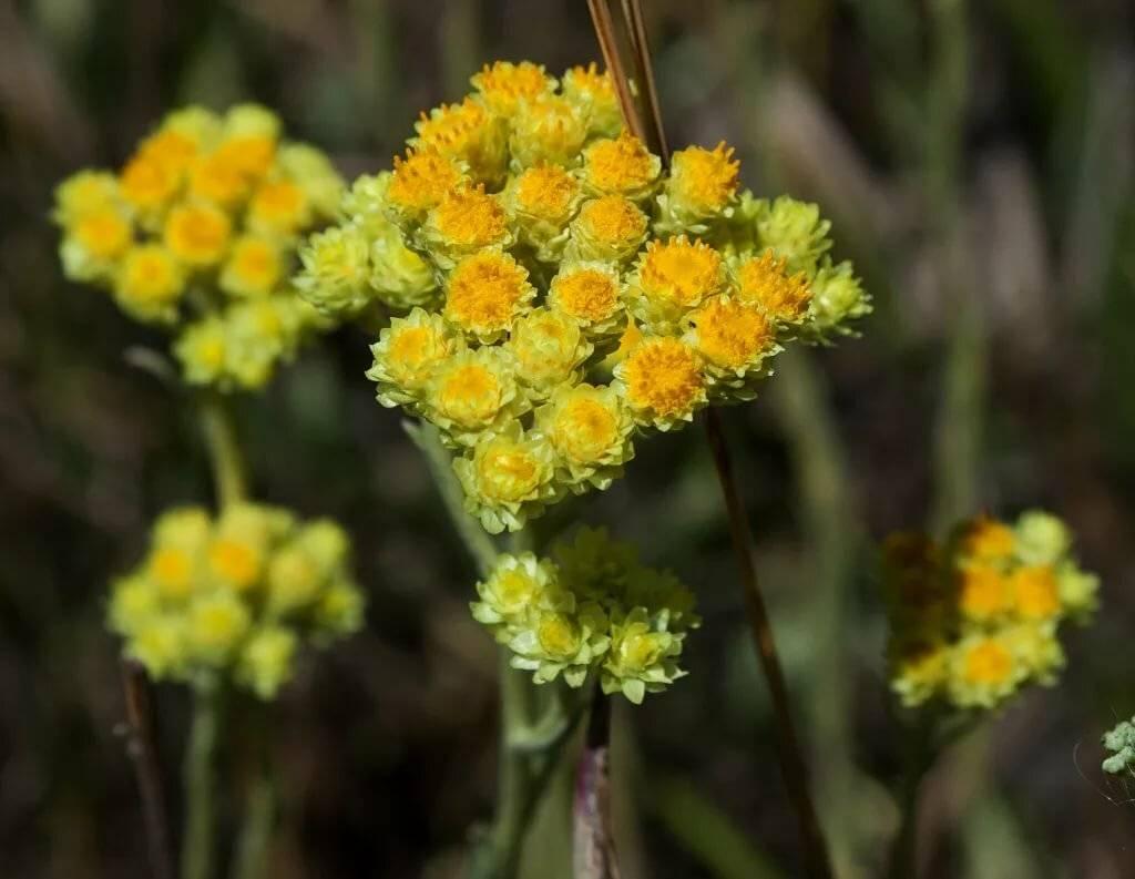 Лечебные свойства и противопоказания травы бессмертник