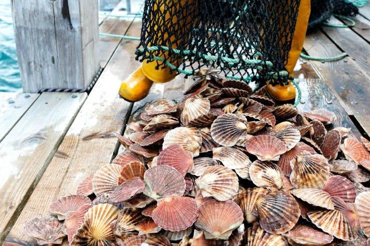 Гребешки морские польза и вред