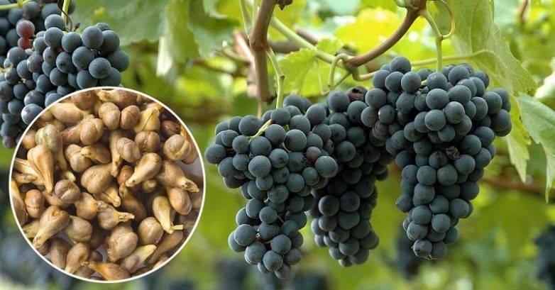 Польза и вред винограда – что нужно знать