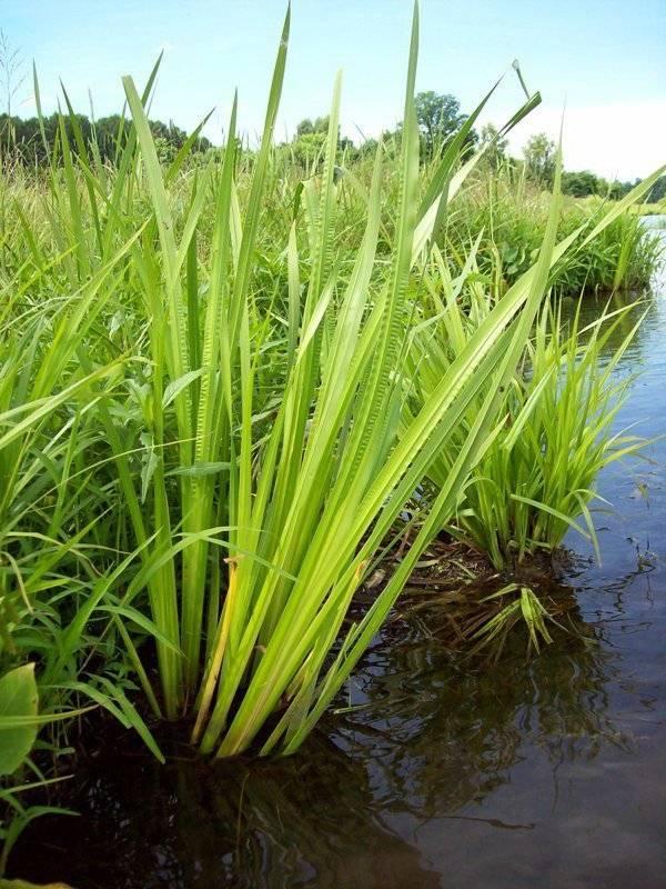 Аир болотный — лечебные свойства и противопоказания