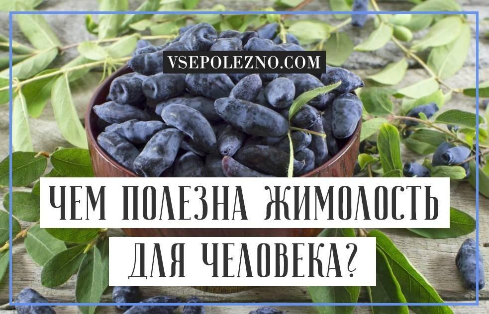 Уникальная ягода жимолость: полезные для человека свойства и противопоказания, нормы и варианты использования