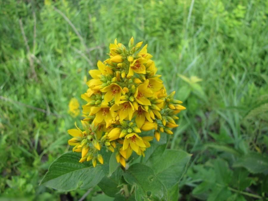 Яркий вербейник — основные правила ухода за растением