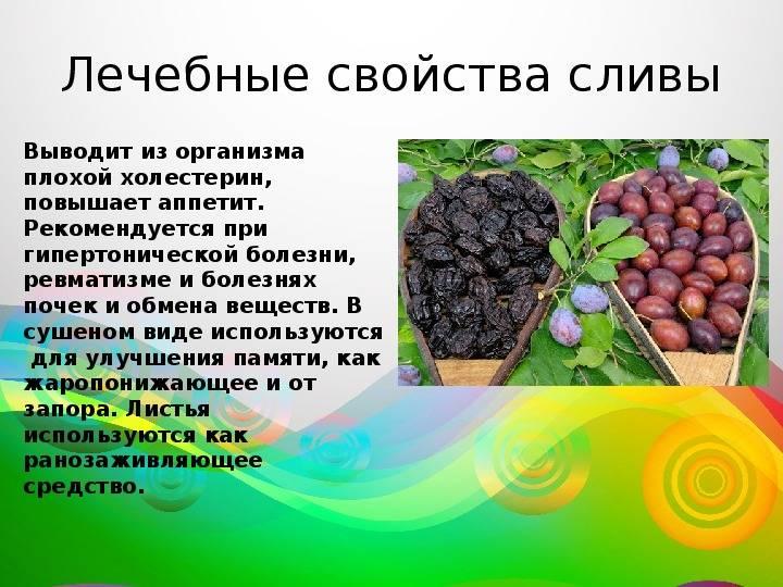 Слива: польза и вред для организма свежих плодов