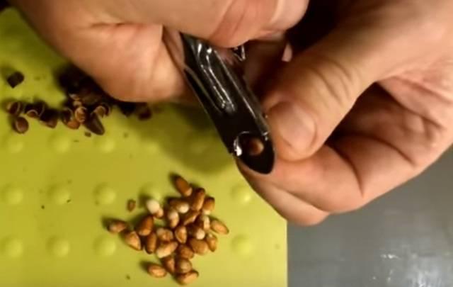 Очистка кедровых орехов