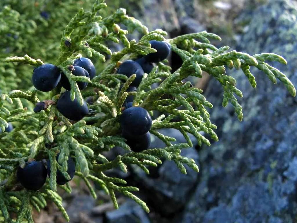Польза можжевельника и лечебные свойства настойки