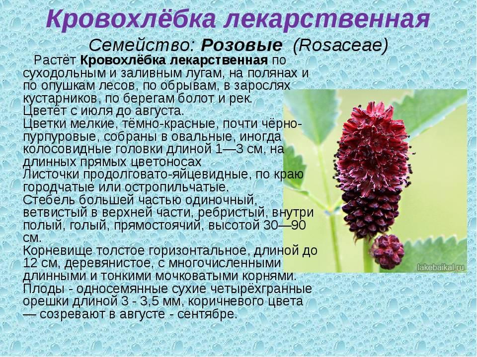 Кровохлебка. лечебные свойства травы, фото, применение корней, цветков растения, противопоказания