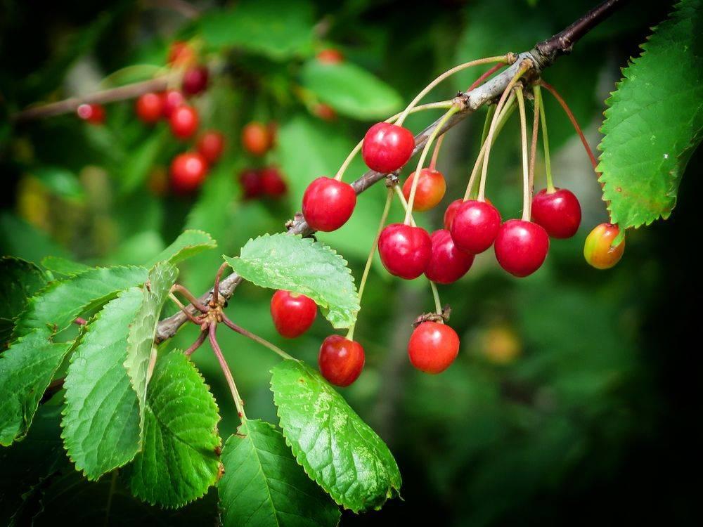 Листья и мякоть вишни полезные свойства и противопоказания