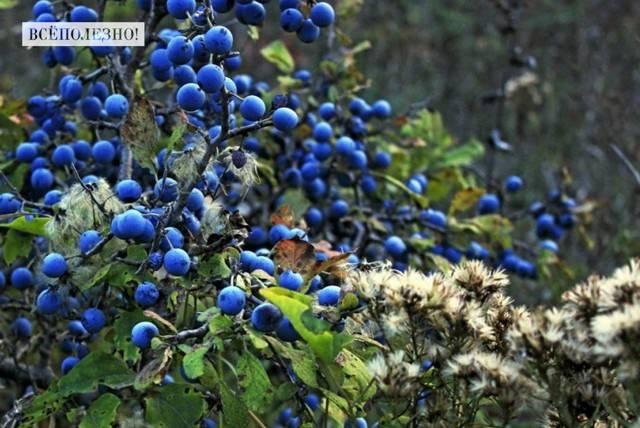 Богатая на урожай тернослива: какова польза и есть ли вред от плодов?