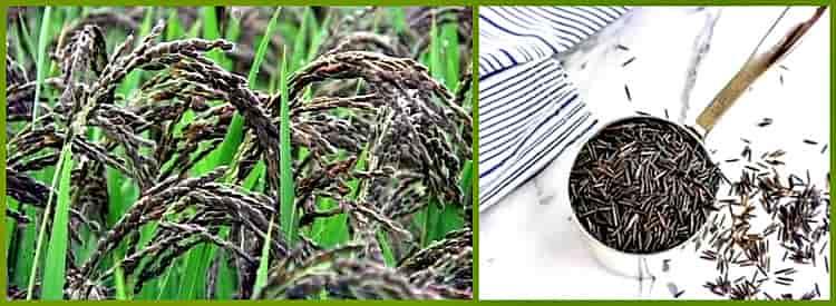 Рис: польза и вред для здоровья человека. виды и применение крупы