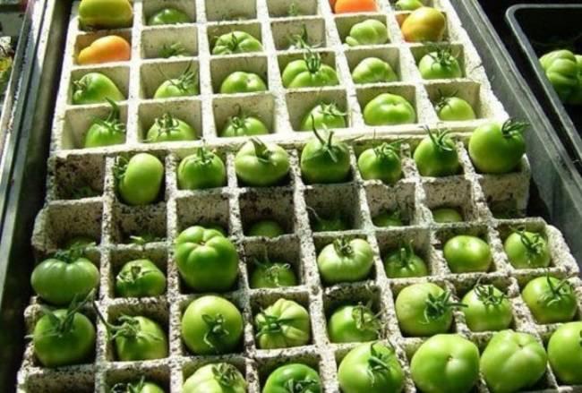 Польза и вред для организма от употребления зеленых помидор и можно ли их есть?