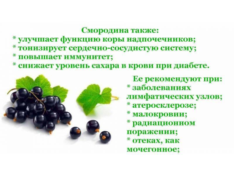Лечебные свойства листьев черной смородины и противопоказания, польза и вред