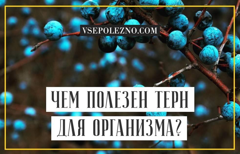 Терн — польза и вред для здоровья