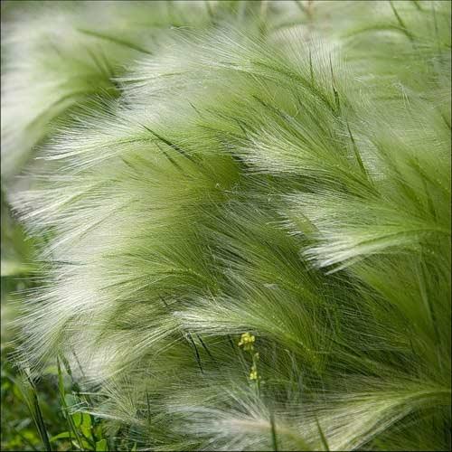 Стальник полевой: лекарственное растение и его полезные свойства для организма человека