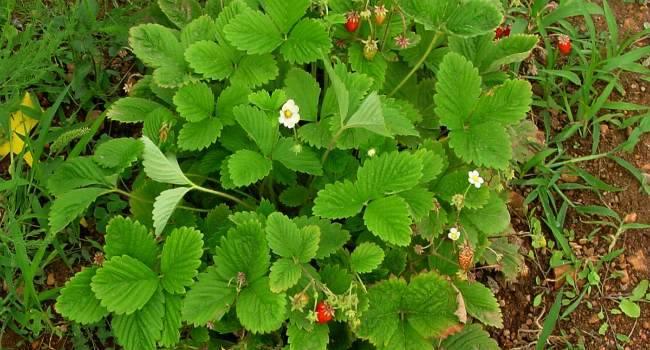 Ягоды и листья земляники – лечебные свойства и советы по применению
