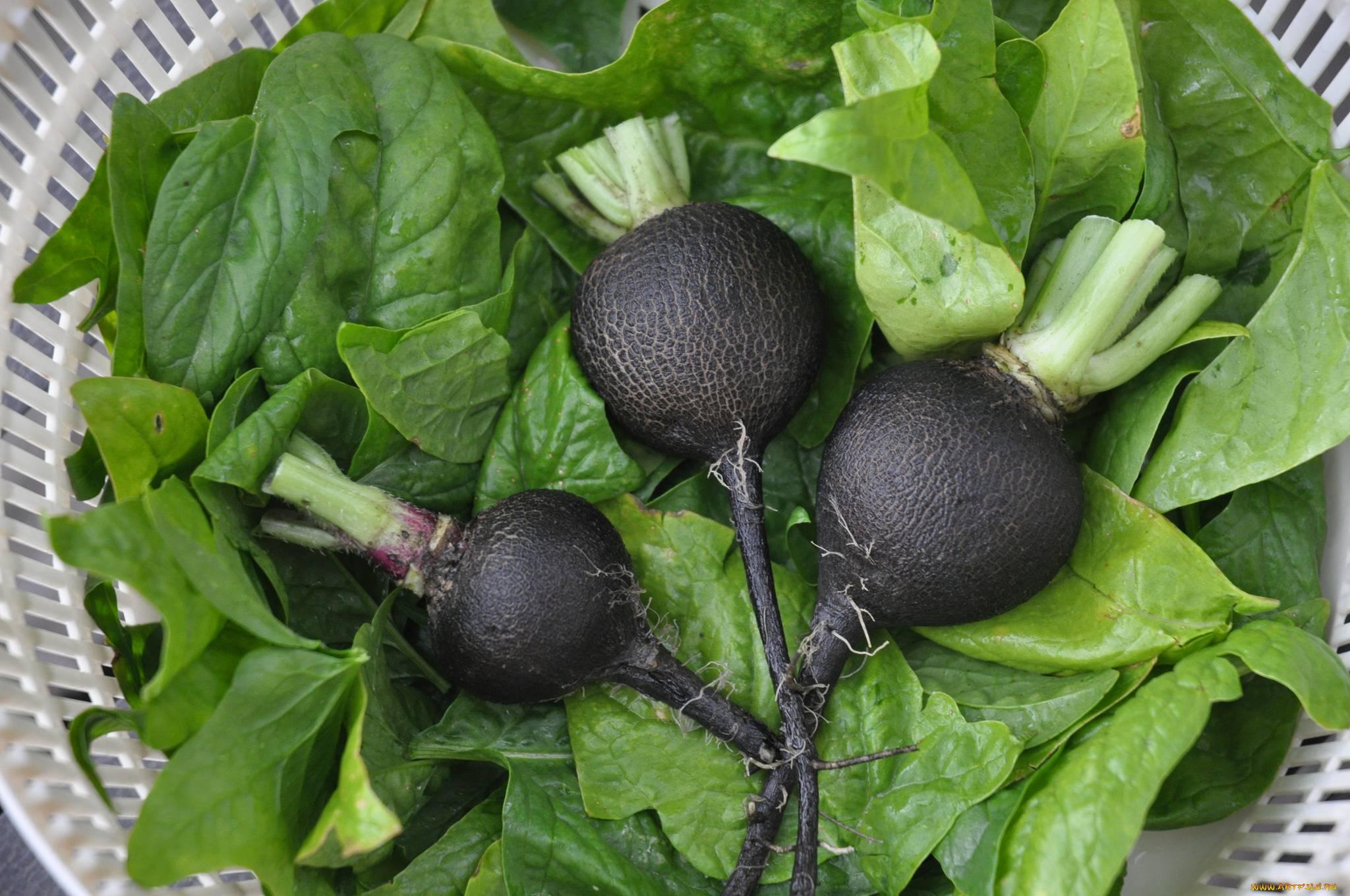 Черная редька — польза и вред, рецепты приготовления