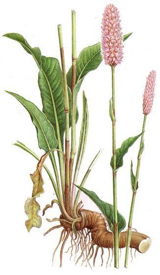 Вероника лекарственная: красота и польза растения