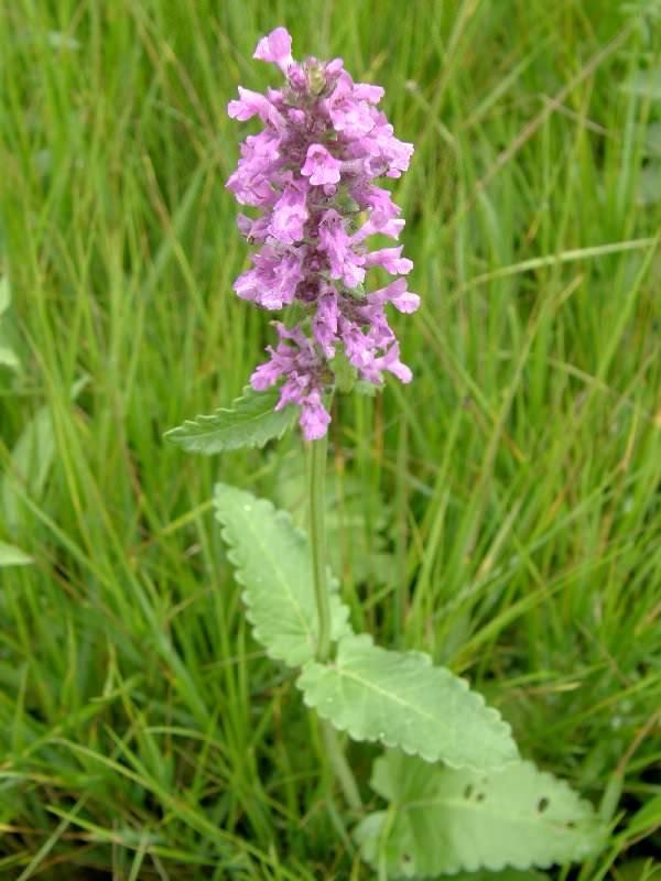 Трава буквица лекарственная: полезные свойства, применение и противопоказания