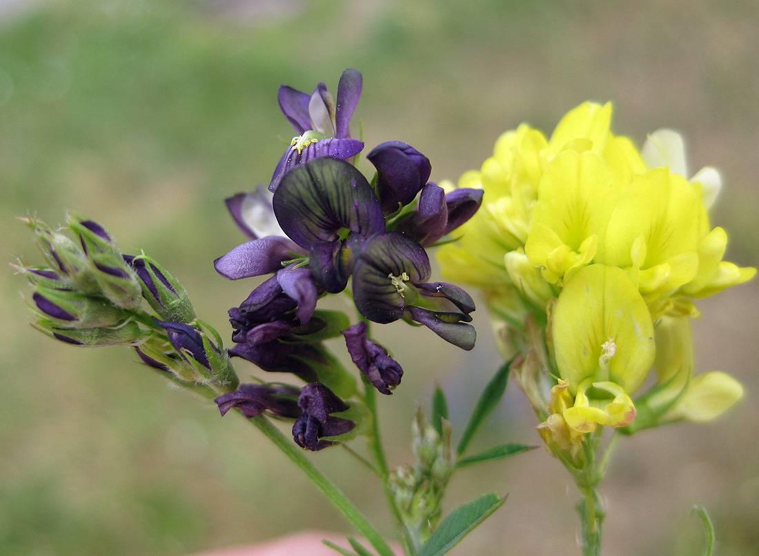 Народное лекарственное средство люцерна: полезные свойства и противопоказания растения