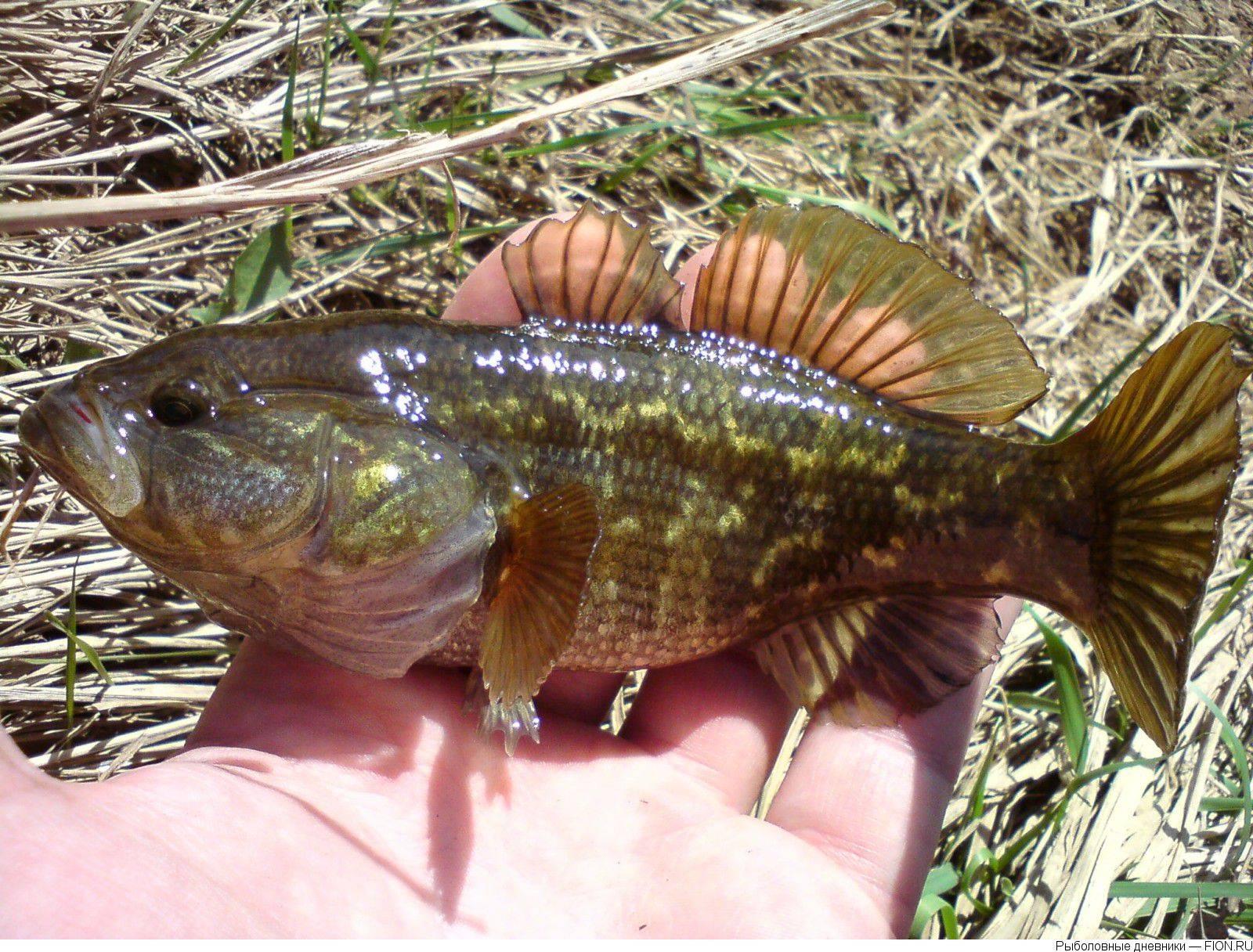 Ротан, или рыба головешка: почему так называется?