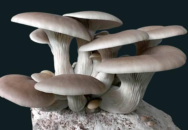 Вешенки — какая польза и вред? из чего состоят грибы?